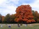 Sugar Maple in Oak Grove Cemetery, Delaware